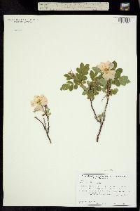 Rosa sayi image