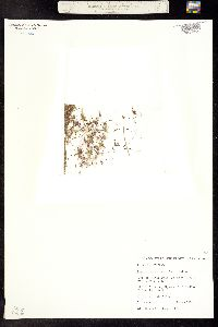Gymnosteris parvula image