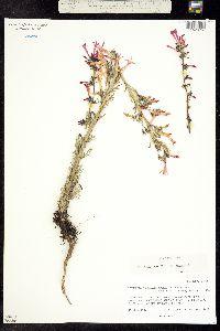 Ipomopsis aggregata subsp. aggregata image