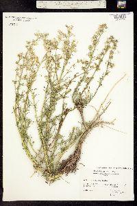 Image of Ipomopsis polyantha