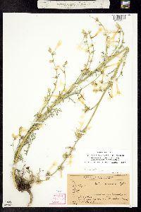 Ipomopsis aggregata subsp. candida image