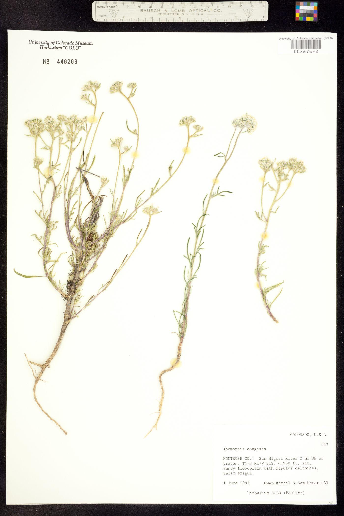 Ipomopsis congesta subsp. congesta image