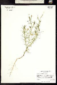 Ipomopsis laxiflora image