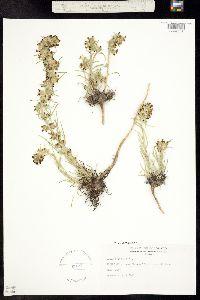 Ipomopsis spicata image