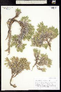 Leptodactylon caespitosum image