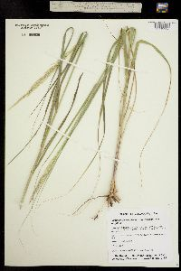 Image of Calamovilfa longifolia
