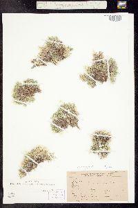 Phlox sibirica ssp. pulvinata image