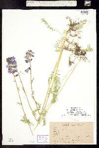 Polemonium occidentale image