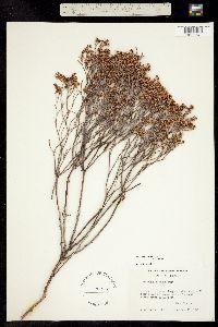 Eriogonum effusum image