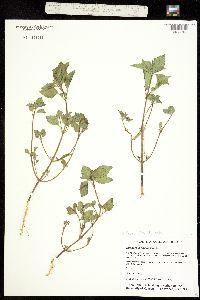 Euphorbia dentata var. dentata image