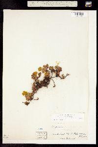 Eriogonum umbellatum var. porteri image