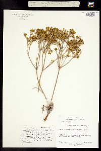 Image of Eriogonum viridulum