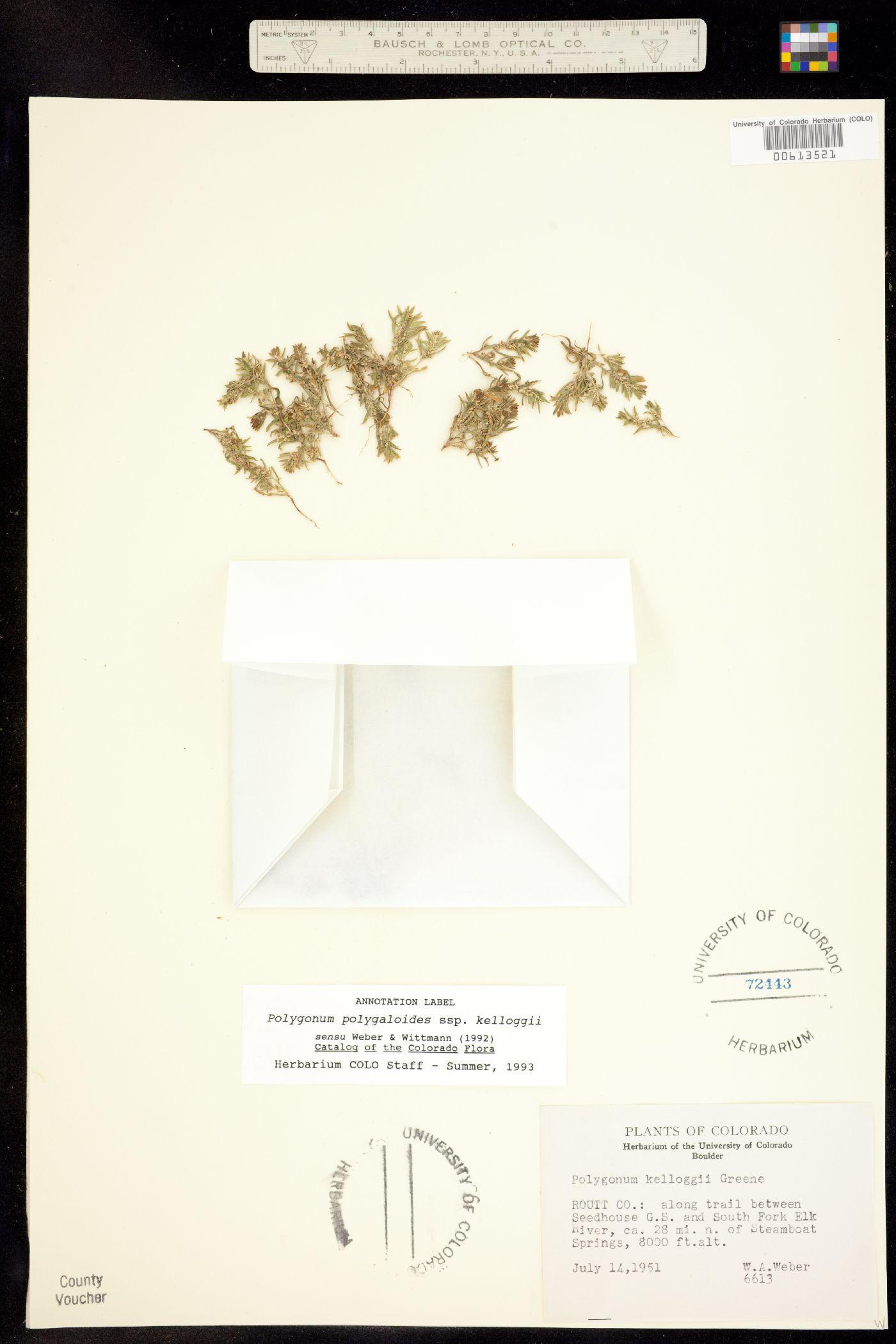 Polygonum polygaloides ssp. kelloggii image