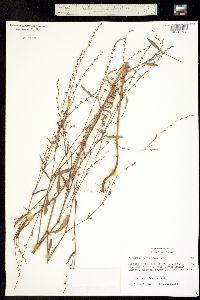 Polygonum ramosissimum image
