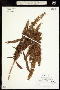 Image of Rumex stenophyllus