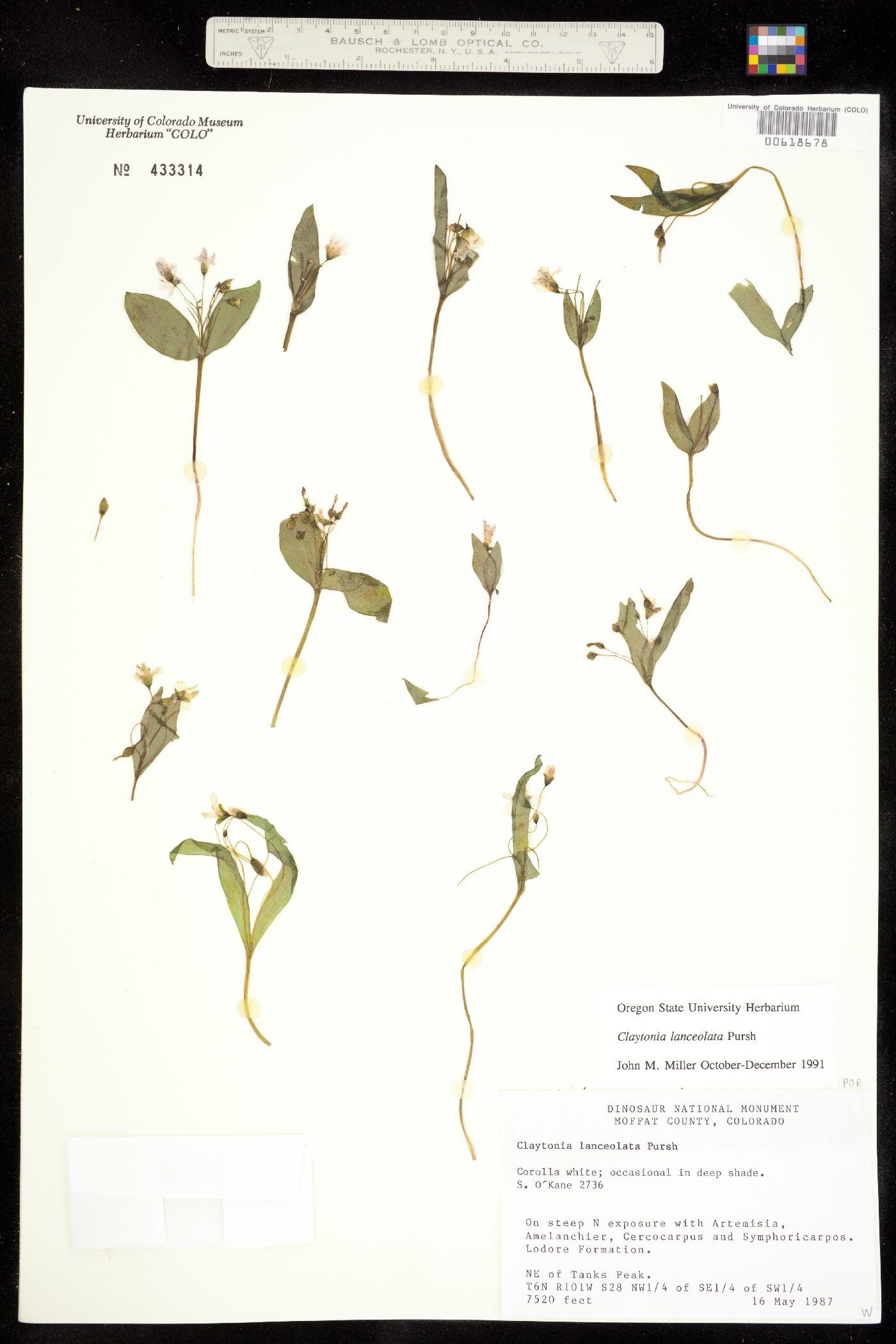 Portulacaceae image
