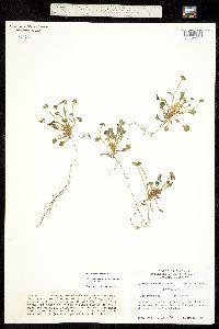 Image of Claytonia rubra