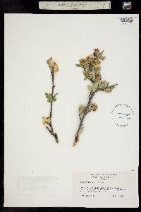 Peraphyllum ramosissimum image