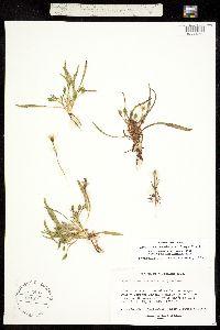 Image of Oreobroma nevadensis