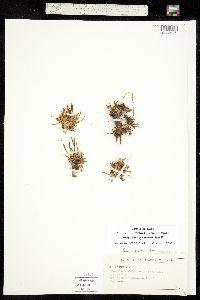 Image of Oreobroma pygmaea