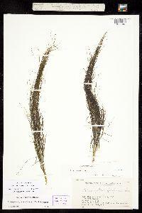 Image of Coleogeton vaginatus