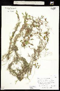 Image of Potamogeton diversifolius