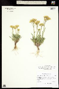 Packera tridenticulata image