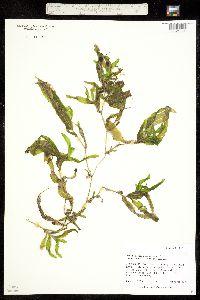 Potamogeton perfoliatus ssp. richardsonii image