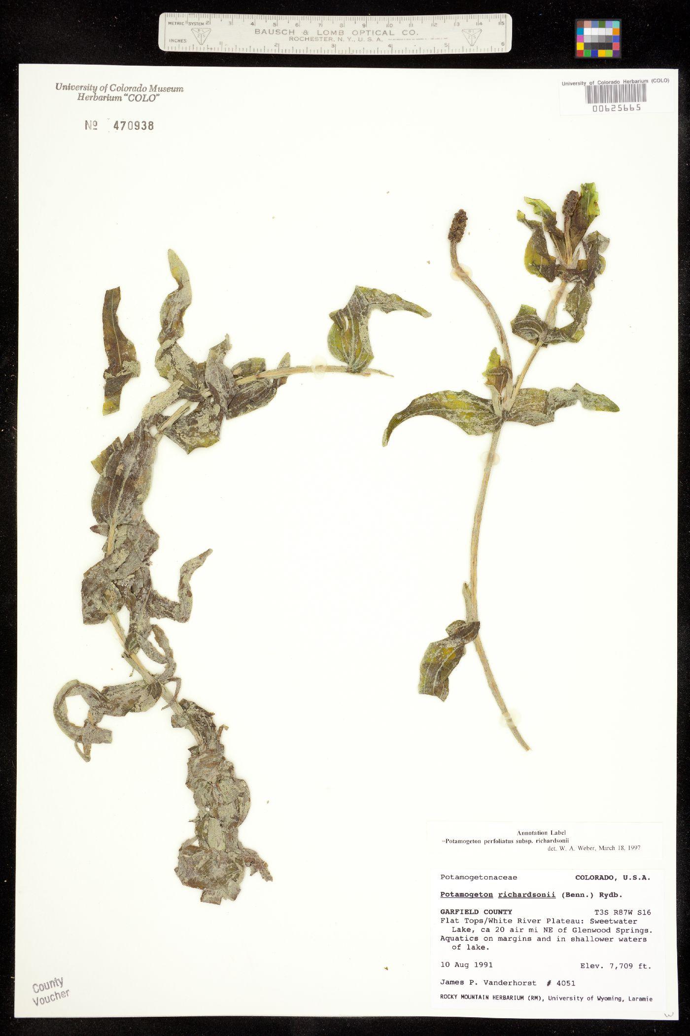 Potamogeton image