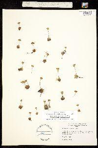 Androsace chamaejasme ssp. carinata image