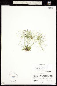 Image of Androsace filiformis