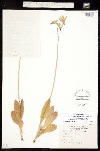 Dodecatheon pulchellum image