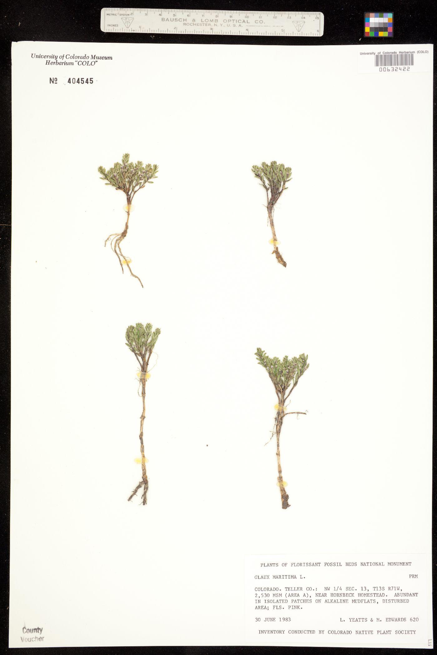 Glaux maritima var. angustifolia image