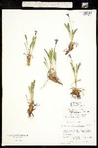 Primula angustifolia image