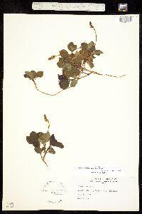 Orthilia secunda image