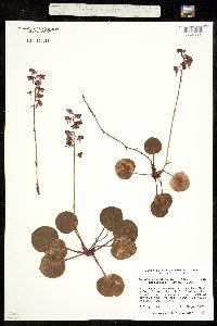 Pyrola rotundifolia ssp. asarifolia image