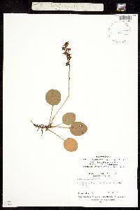 Image of Pyrola californica