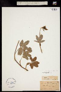 Image of Comarum palustre