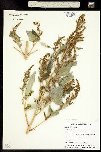 Image of Cyclachaena xanthifolia