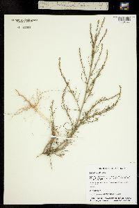 Salsola collina image