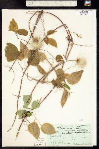 Atragene occidentalis image