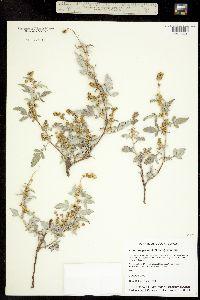 Image of Ambrosia grayi