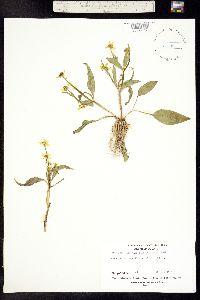Ranunculus alismifolius var. montanus image