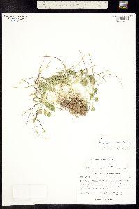 Ranunculus gelidus image