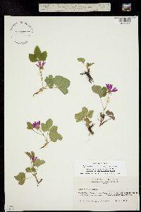 Image of Rubus acaulis