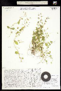 Erythranthe gemmipara image