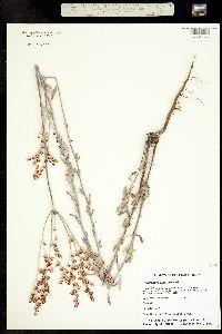 Image of Eriogonum acaule
