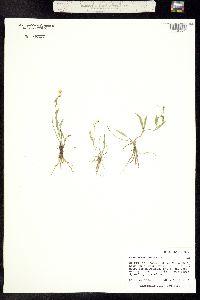 Ranunculus flammula var. flammula image
