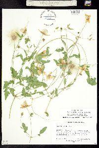 Clematis orientalis image