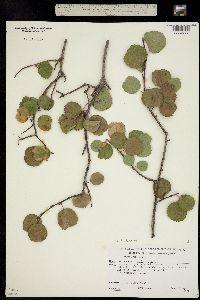 Amelanchier utahensis image